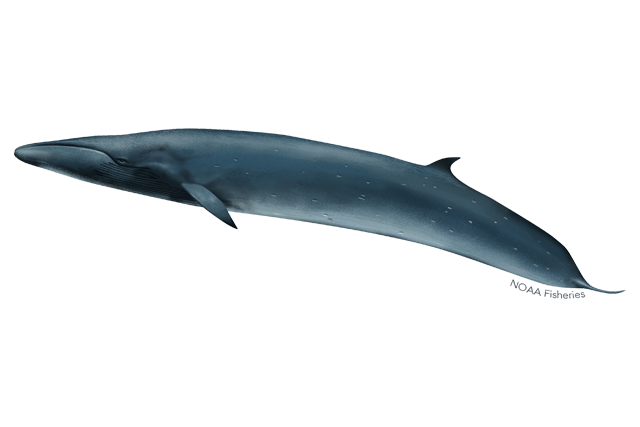 Sei whale illustration.