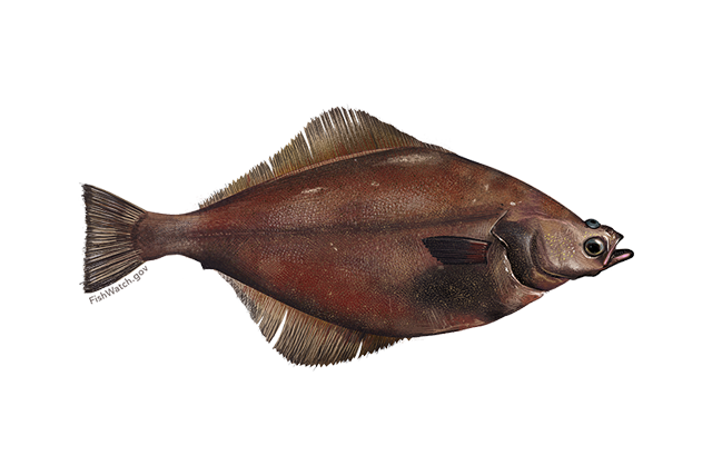 Arrowtooth flounder illustration