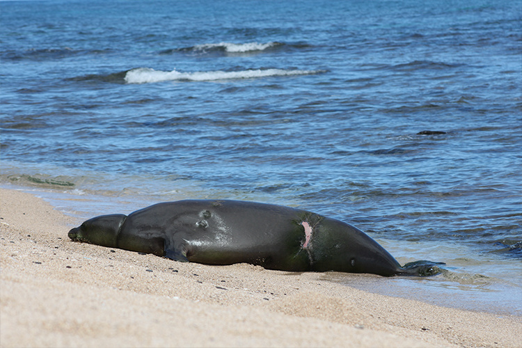 Monk seal resting on the beach.