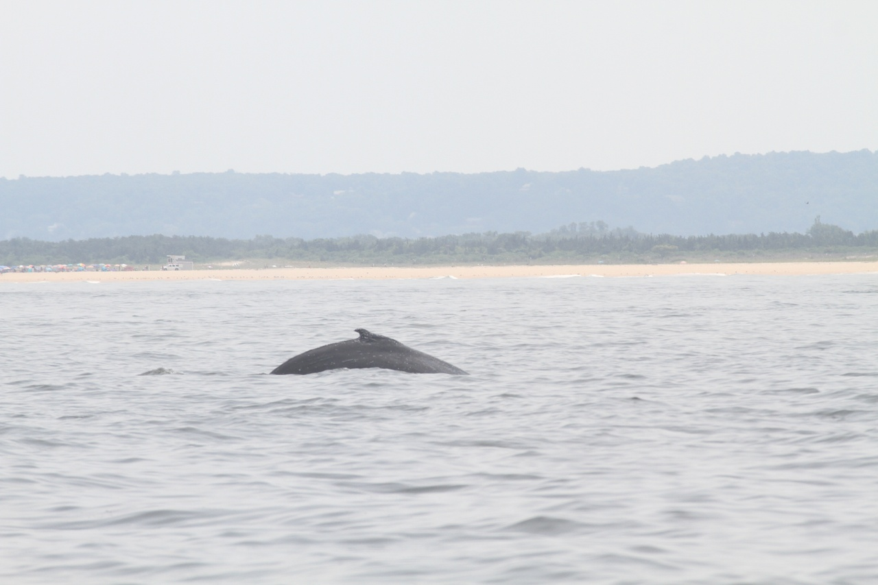 Disentangled-humpback-whale off-Sandy-Hook NJ_07-11-18-NOAA.jpg
