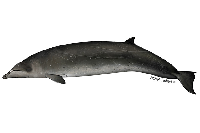 Stejneger's beaked whale illustration