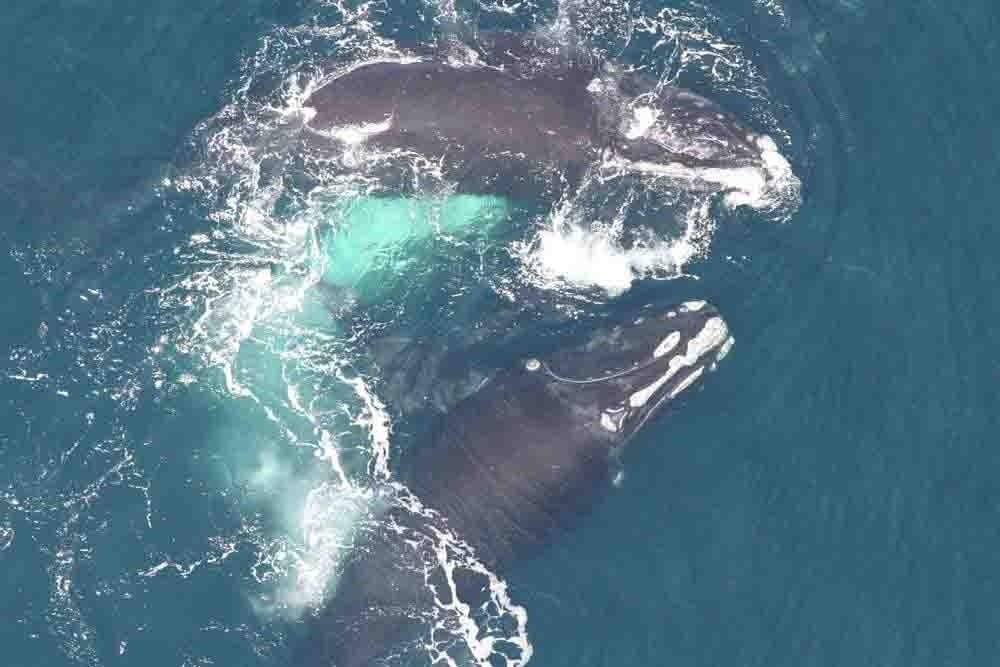 north-atlantic-right-whales-NEFSC-2.jpg