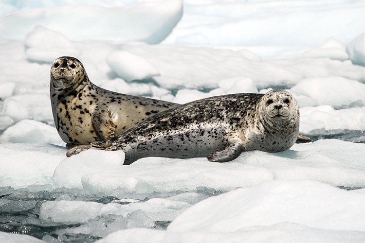 Harbor Seals in the Gulf of Alaska
