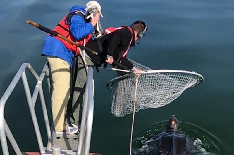 People standing on end of boat platform with net trying to catch a large turtle in the water