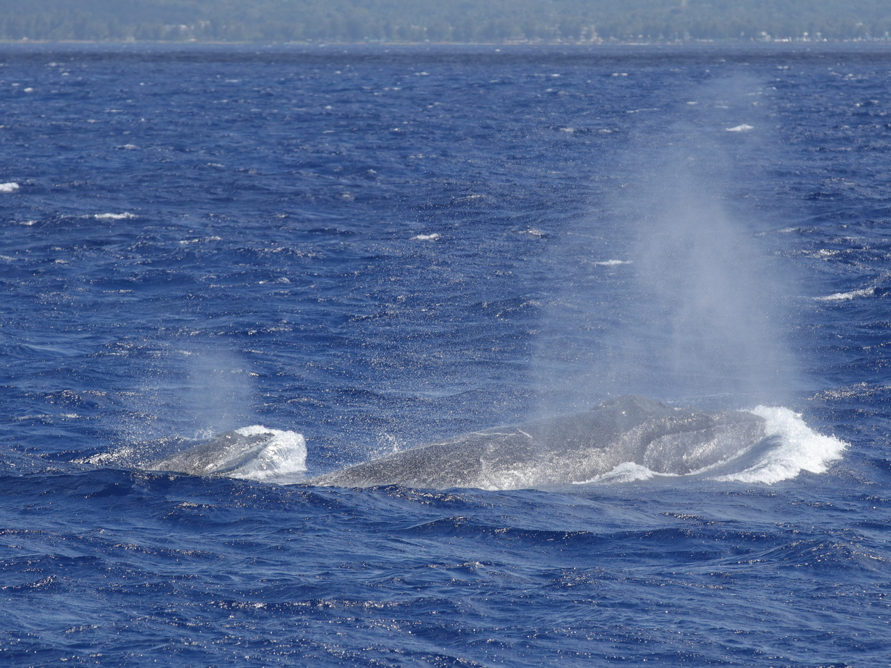 A humpback whale mother and calf surface in nearshore waters off Saipan.