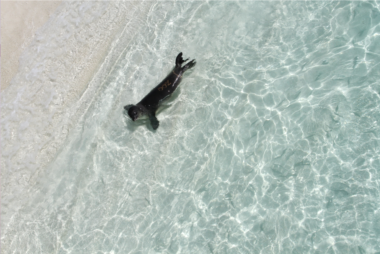 A monk seal pup in shallow water near shore.