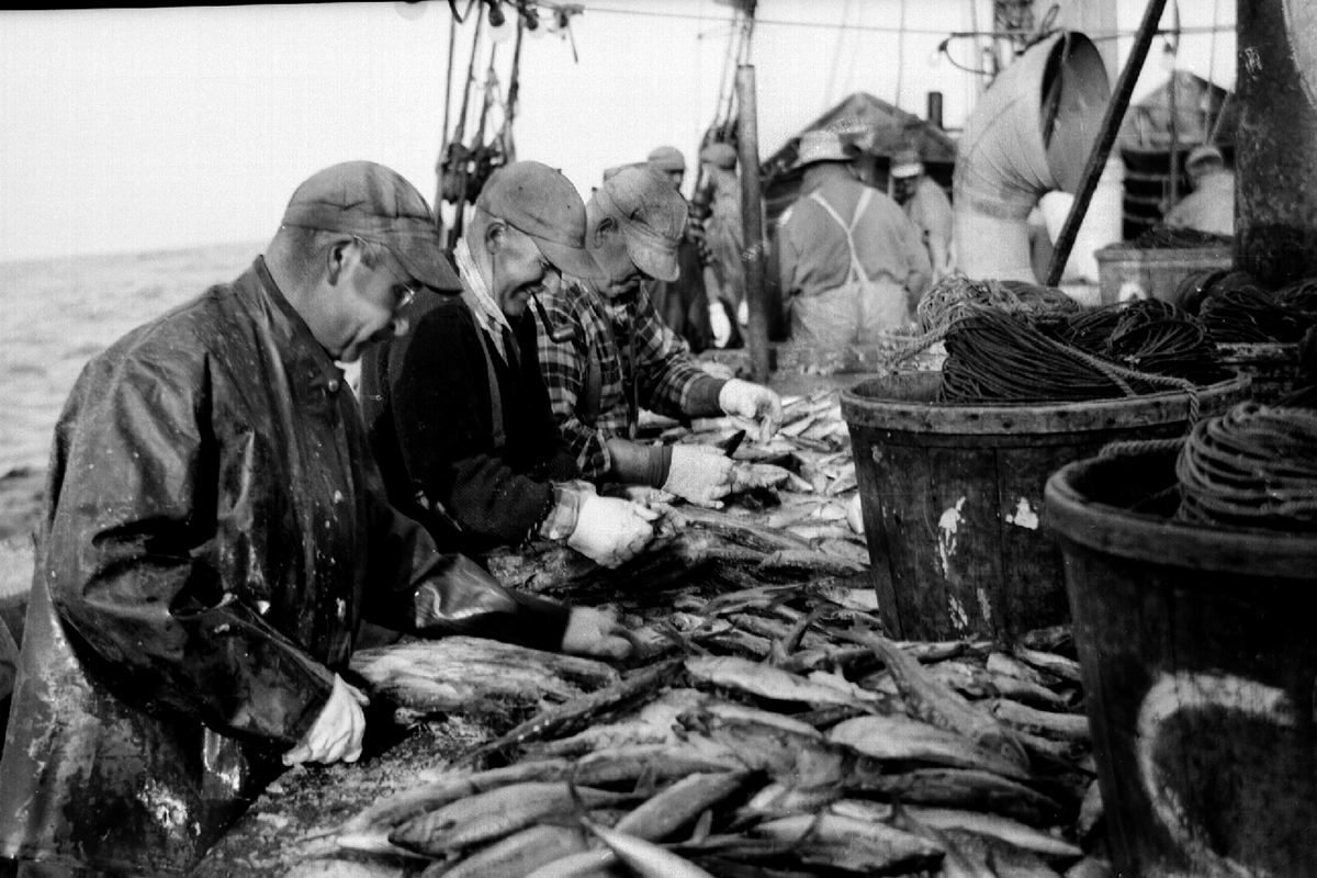 Gutting fish at the Boston Fish Pier, 1940s.