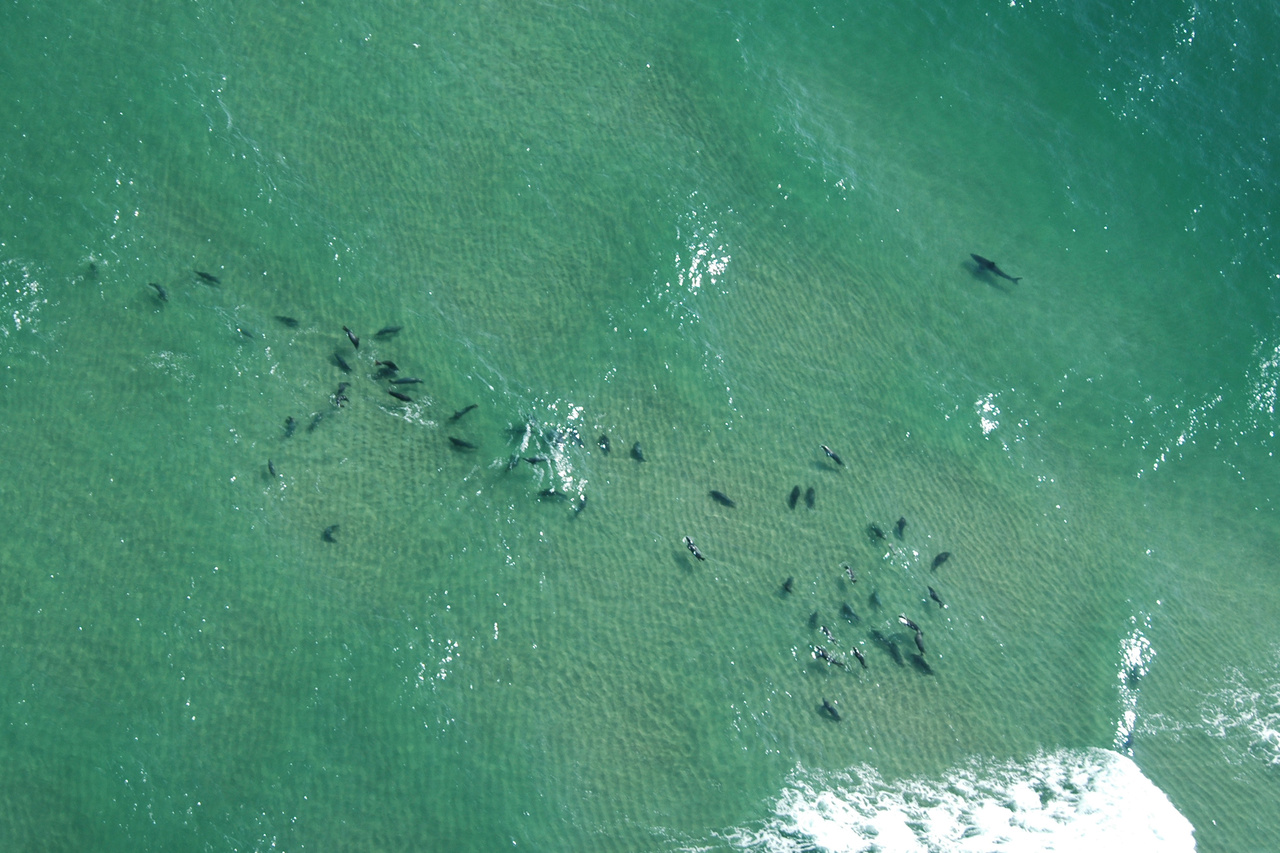 A white shark swims close to a pack of gray seals in the shallow water off Lighthouse Beach in Chatham