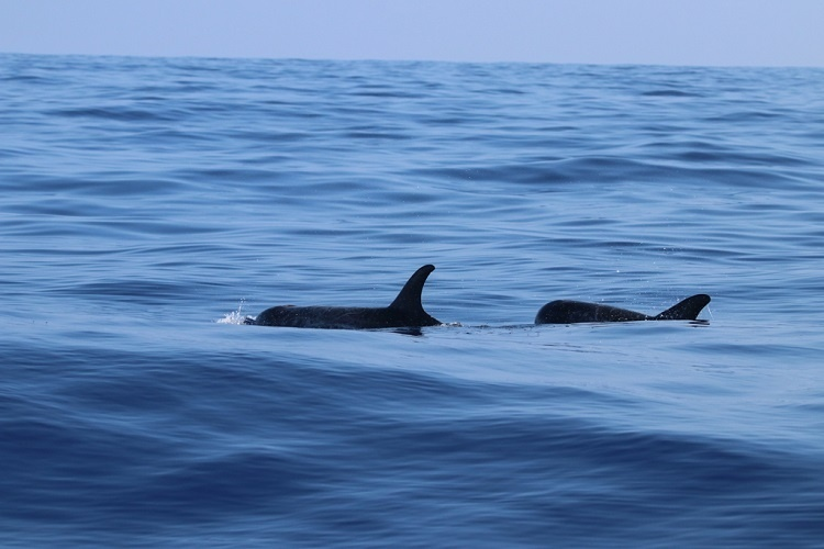 Two dolphins swimming in calm wawters.