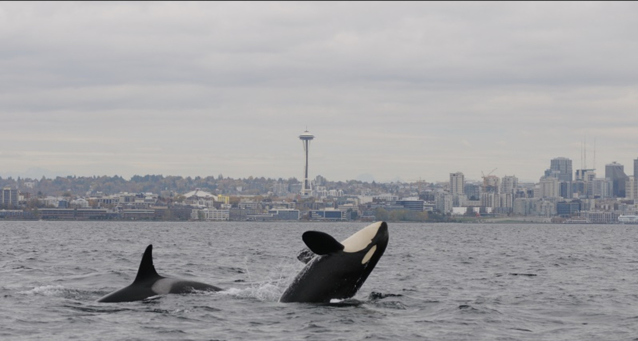 killer-whales-puget-sound-waterfront-nwfsc.jpg