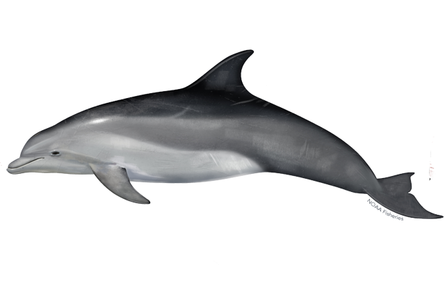 Common Bottlenose Dolphin Noaa Fisheries