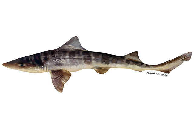Illustration of striped smoothhound shark.