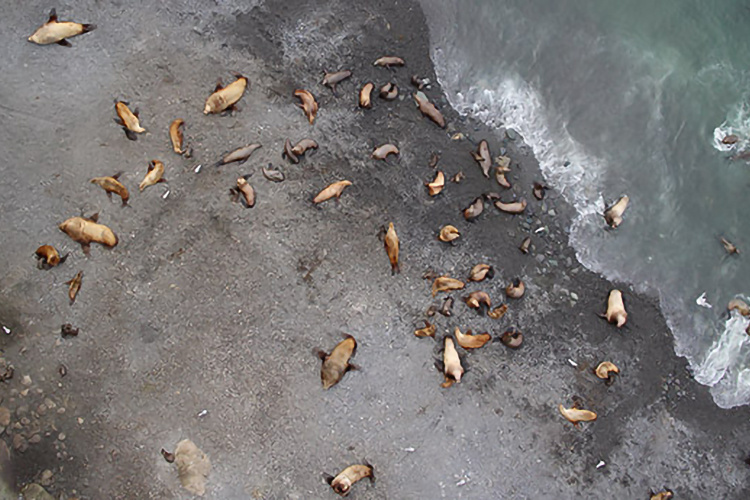 Aerial view of a Steller sea lion breeding site from a previous Aleutian survey.