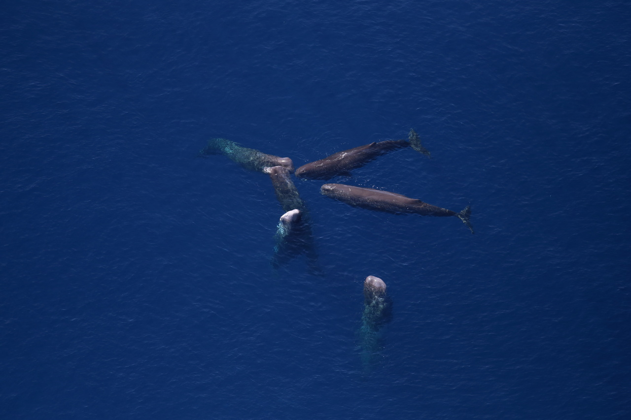 Aerial photo of a pods of sperm whales.