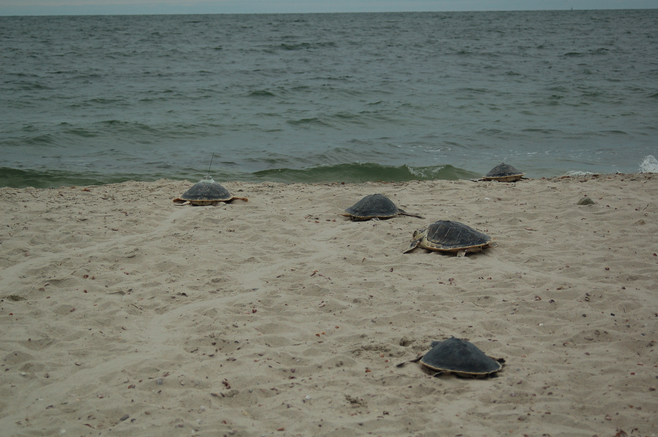 Five released sea turtles on beach heading for water