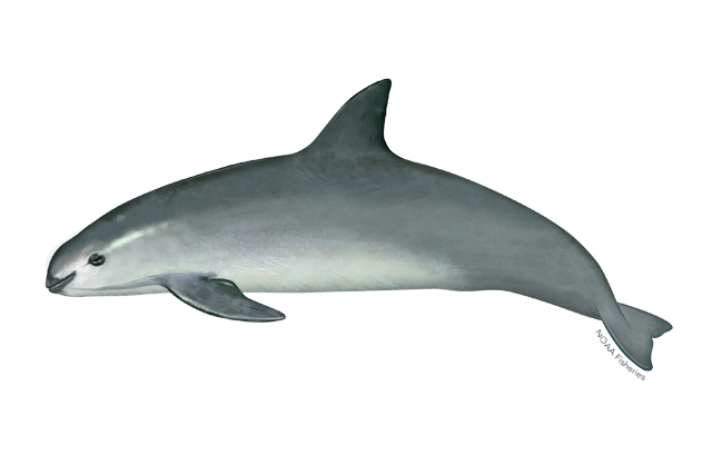 Vaquita illustration