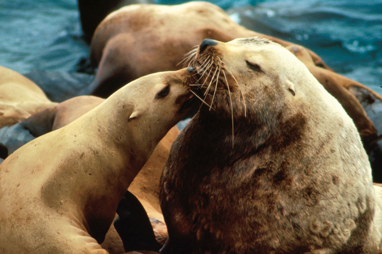 Steller sea lion and pup.
