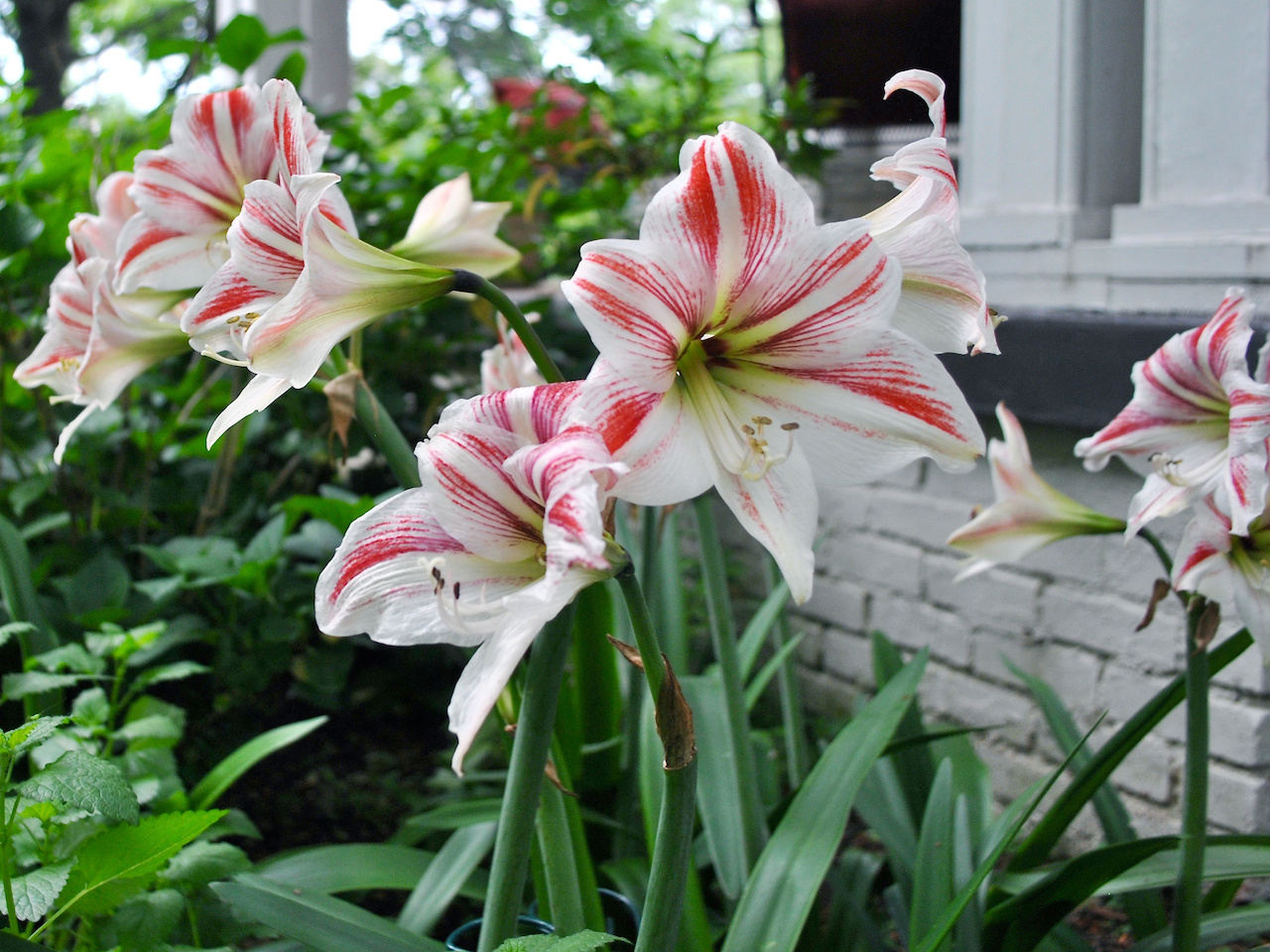 """""""Those are Amaryllis that we receive each year for Christmas,"""" says Jeanne. """"This year they all bloomed the same color!"""""""
