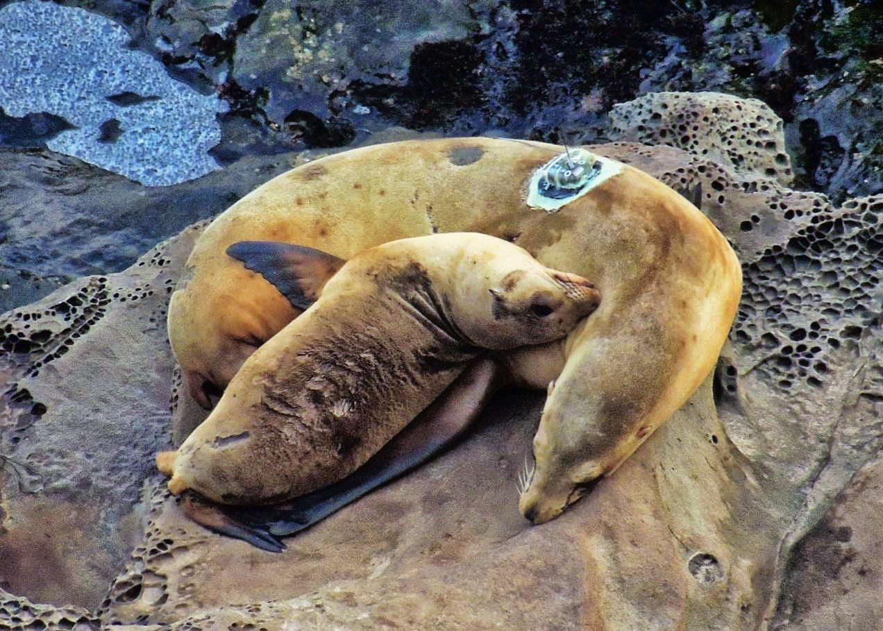 California Sea Lion Research