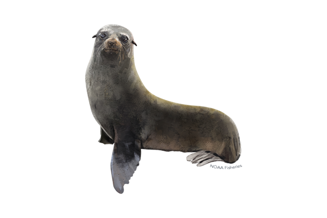 Guadalupe fur seal illustration