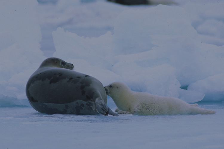 Picture of a harp seal and calf.