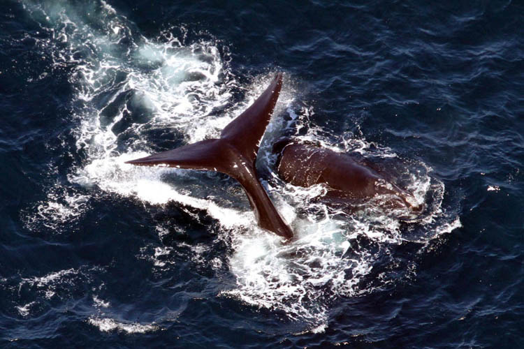 Two North Atlantic right whales swimming at ocean surface.