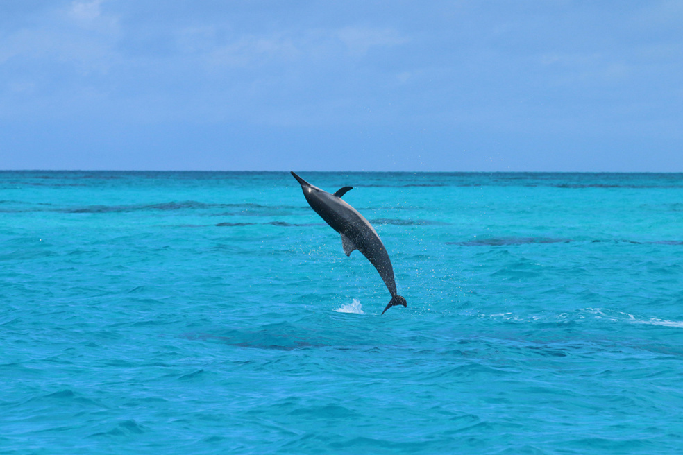 Spinner dolphin leaping out of the water.