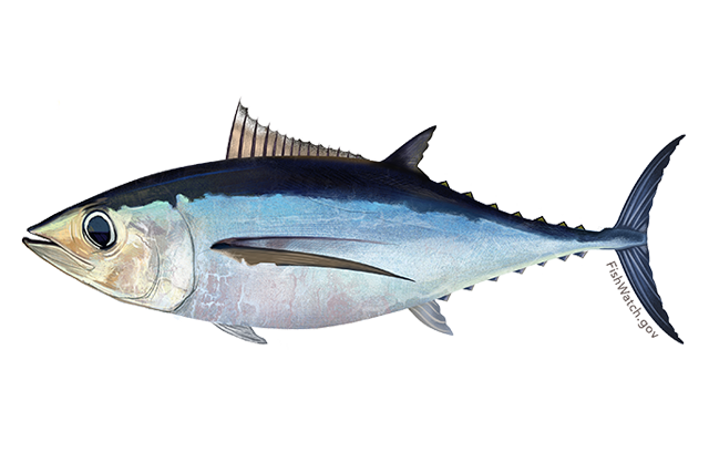 North atlantic albacore tuna