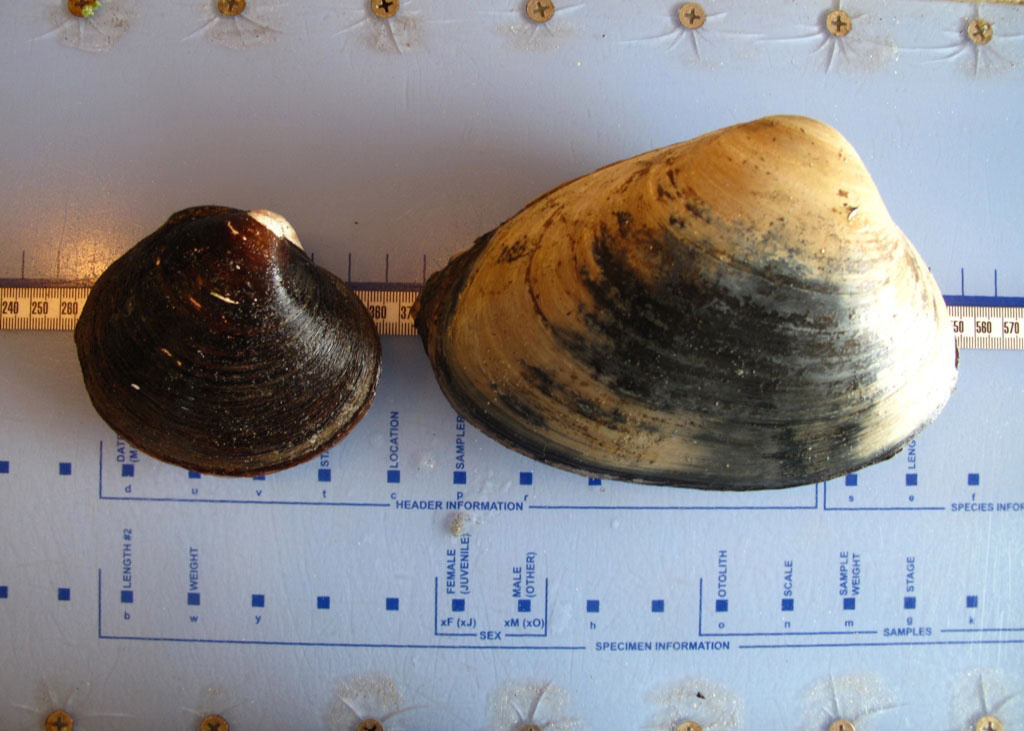 Ocean quahog and surfclam side by side on a measuring board