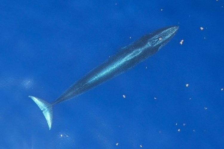 Subsurface GoMex Brydes whale