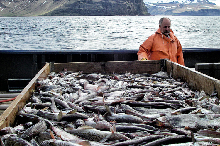 Preparations are made for sorting a catch of walleye pollock and flatfish aboard the chartered fishing vessel Sea Storm