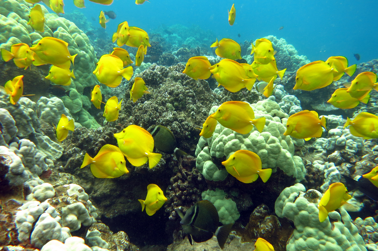 Yellow tang (Zebrasoma flavescens) school around a reef in Hawaii (Photo: NOAA Fisheries/Paula Ayotte).