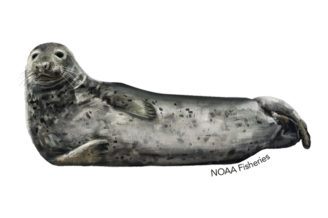 Gray seal illustration