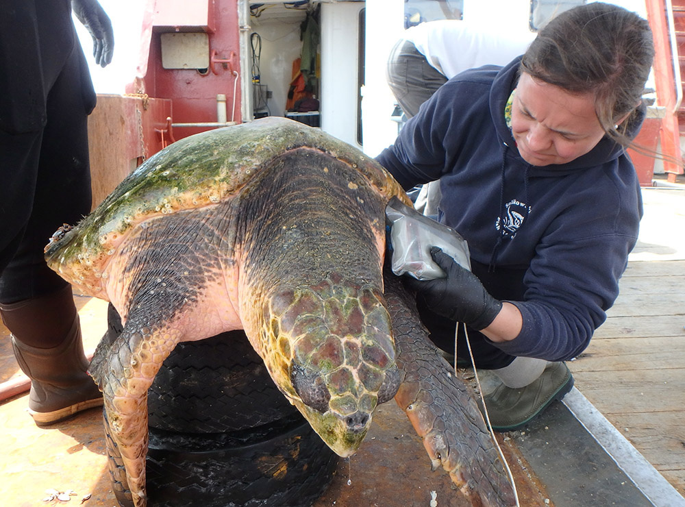 woman scans a captured loggerhead turtle for a PIT tag