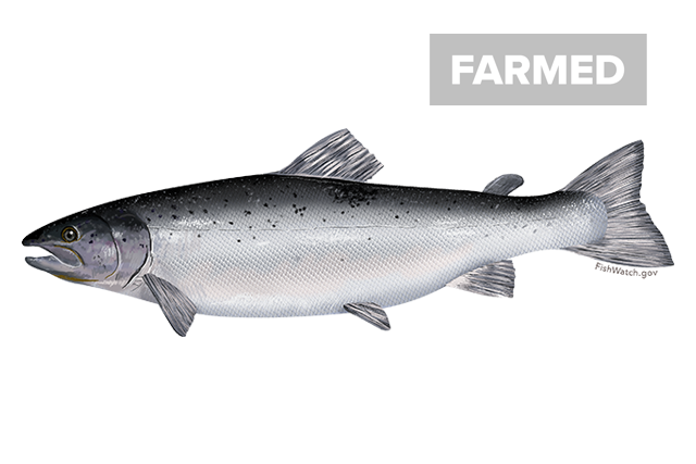 Farmed Atlantic salmon illustration
