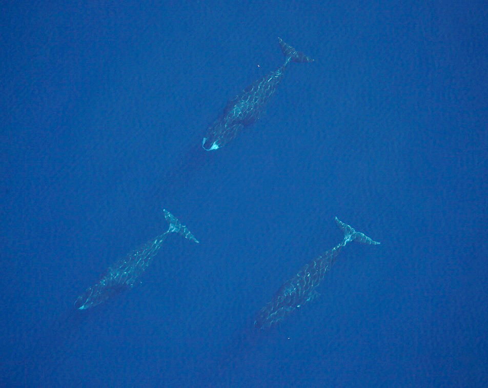 Three adult Bowhead whales.