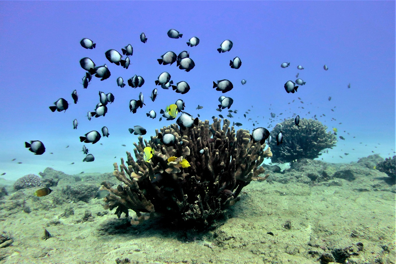 As the divers survey the reefs around Ni'ihau, they encounter more rocks, boulders, and pavement than dense coral reef. Here, a few solitary Pocillopora grandis coral colonies serve as a welcome shelter for these butterflyfish and damselfish. Photo: NOAA Fisheries/Ari Halperin