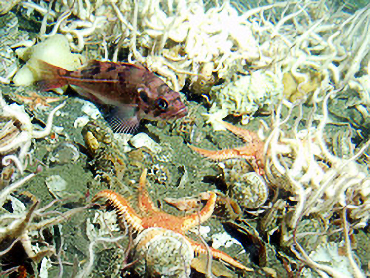 A juvenile rockfish amongst a variety of brittle stars and sea stars.