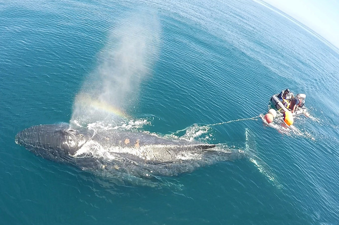 Entangled whale being rescued at sea