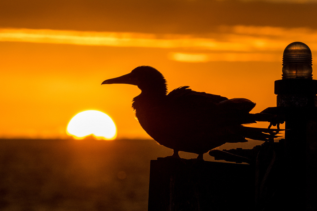 Hawaiian sunset and red-footed booby. Credit: NOAA/Adam U.