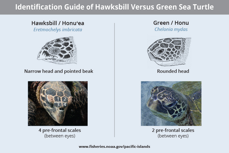 Hawksbill and green sea turtle identification guide when comparing the physical differences.
