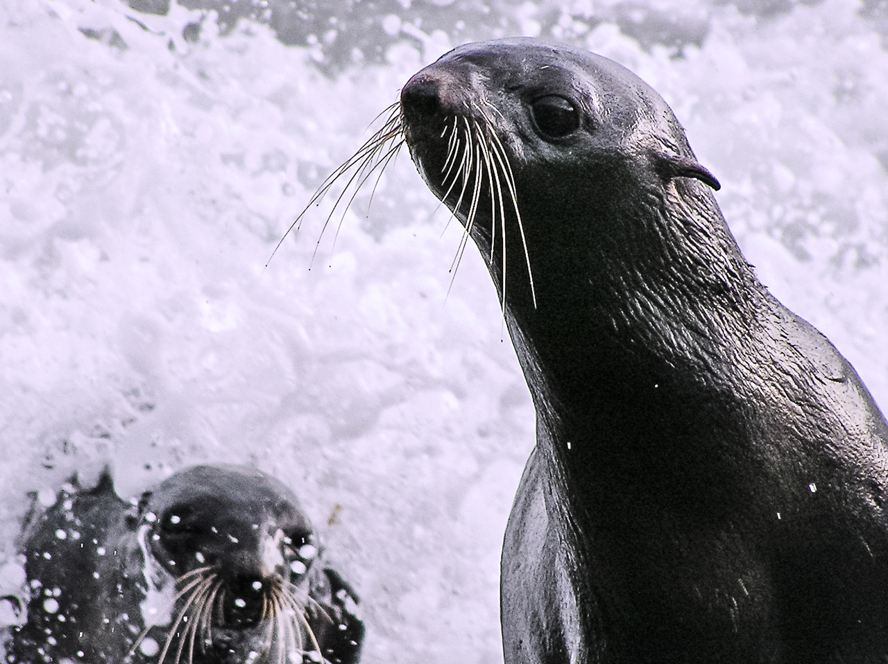 Northern fur seals exit the surf.