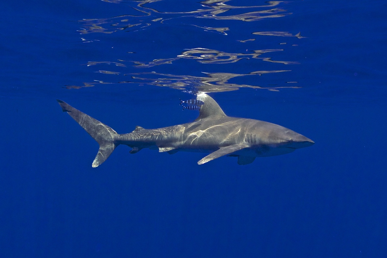 2005x1336-Oceanic-Whitetip-Shark-MarkRoyer.jpg