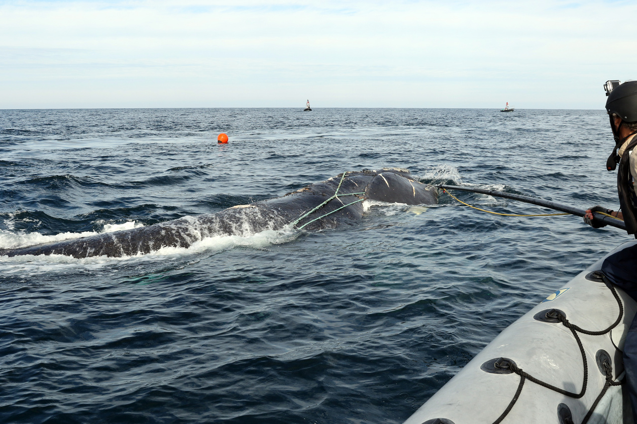 North Atlantic right whale disentanglement.