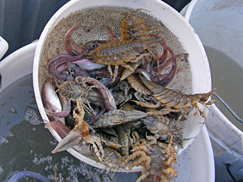Arctic cod and isopods from nearshore trawl.