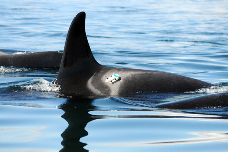 Killer whale with digital acoustic recording tag
