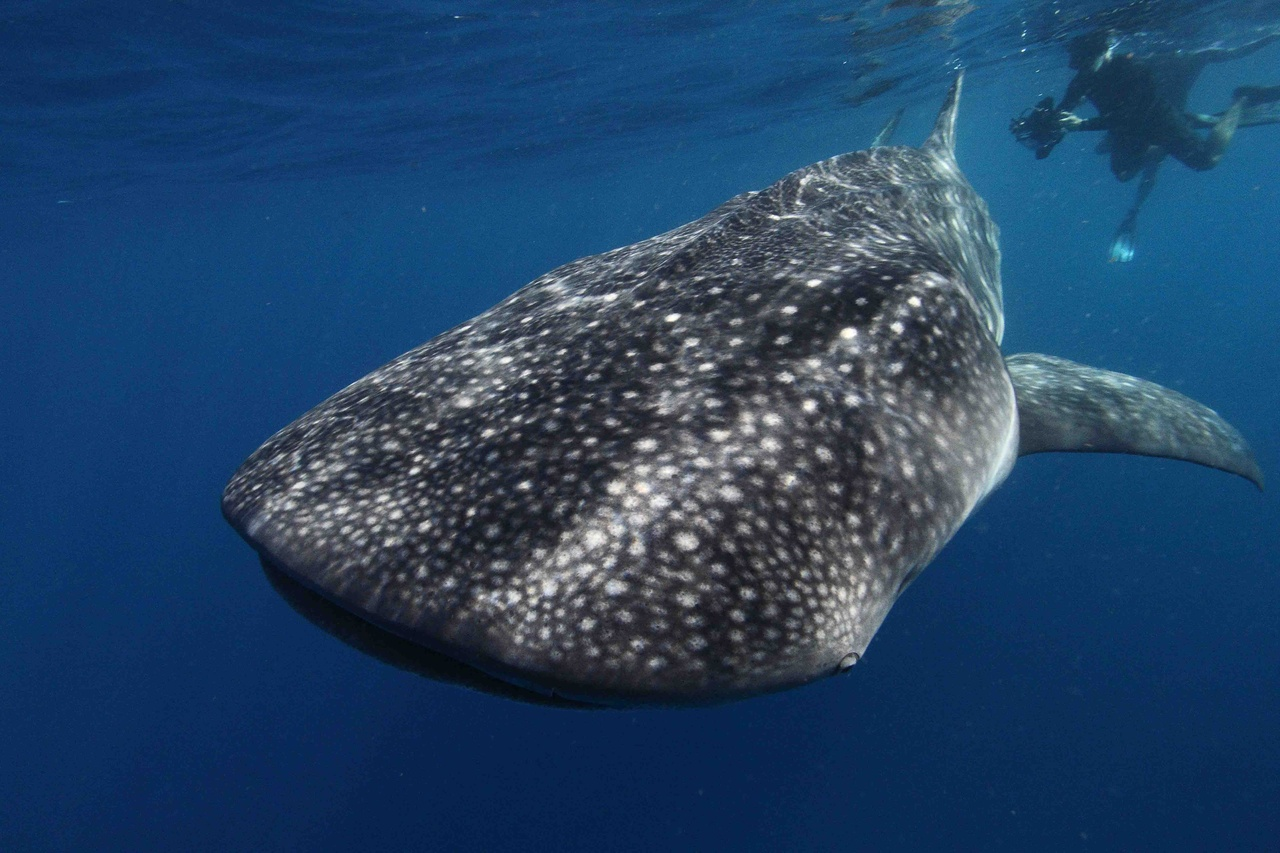 Large spotted whale shark with diver near its tail.