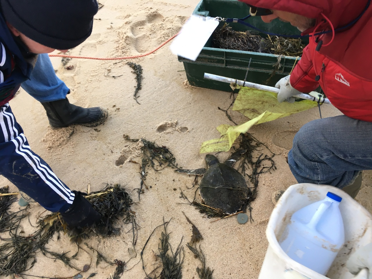 Authorized volunteers find a cold-stunned sea turtle on a Cape Cod beach and prepare it for transport.