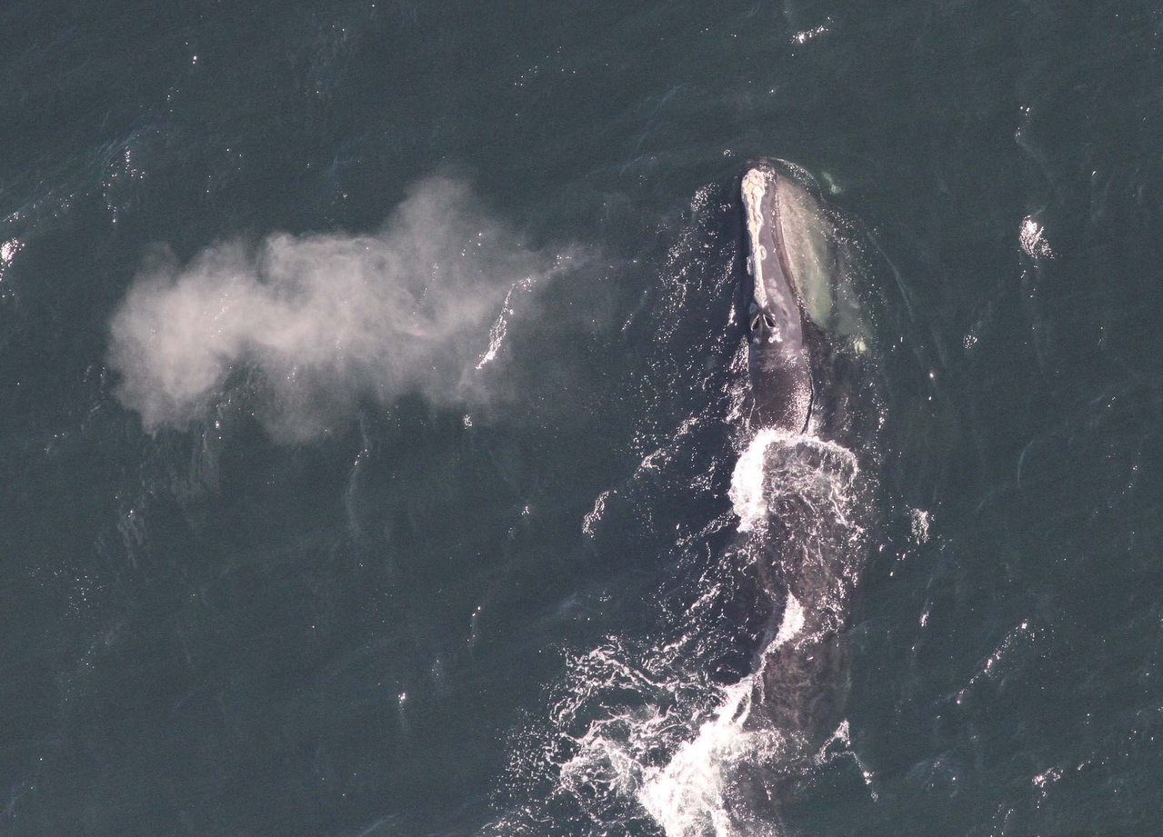 Aerial view of right whale blow.