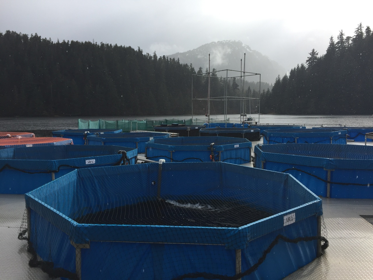 Vertical raceways, which hold the 215,000 Chinook salmon that will be observed for the study.